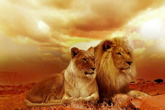 2 lions under yellow cloudy sky